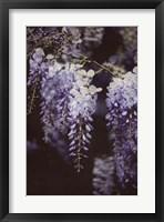 Wisteria Cascade I Framed Print