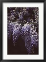 Framed Wisteria Cascade II