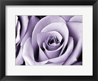 Framed Lavender Rose