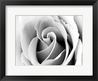 White Noise Rose 3 Framed Print