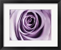 Lavender Bloom Framed Print