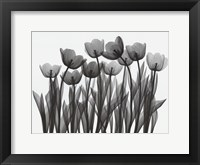 Framed Tulip Exposures