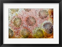 Framed Coral, Indonesia