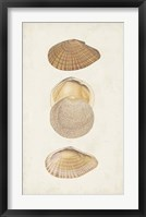 Antiquarian Shell Study I Framed Print