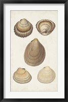 Antiquarian Shell Study III Framed Print