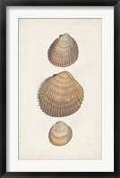 Antiquarian Shell Study IV Framed Print