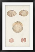 Antiquarian Shell Study V Framed Print