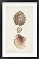 Antiquarian Shell Study VI Framed Print