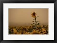Framed Sunflowers Fog