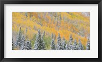 Framed Aspens and Evergreens