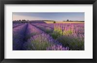 Framed Fields of Lavander