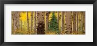Framed Panor Aspen Lone Pine