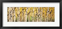 Framed Panor Aspens Fall Begins