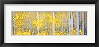 Framed Panor Aspens Grey Forest