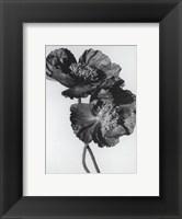 Framed Pair Of Black Poppies