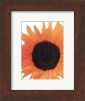 Framed Sunflower In Bloom