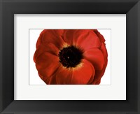 Framed Poppy In Bloom