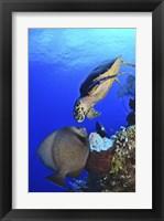 Framed Hawksbill Sea Turtle and Gray Angelfish