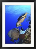Framed Hawksbill Sea Turtle and Gray Angelfish