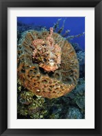 Framed Scorpionfish hiding in a barrel sponge