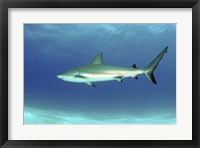 Framed Caribbean reef shark, Nassau, The Bahamas
