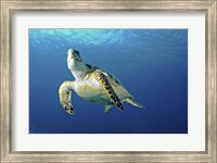 Framed Hawksbill sea turtle ascending, Nassau, The Bahamas
