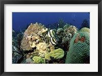 Framed Pair of banded butterflyfish roaming the reef, Nassau, The Bahamas