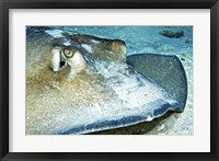Framed Close-up view of a Female Southern Atlantic Stingray