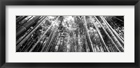 Framed Low angle view of bamboo trees, Arashiyama, Kyoto, Japan