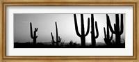 Framed Silhouette of Saguaro cacti, Saguaro National Park, Tucson, Arizona