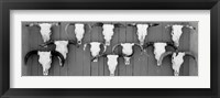 Framed Cow skulls hanging on planks, Taos, New Mexico