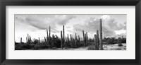 Framed Cardon cactus plants in a forest, Loreto, Baja California Sur, Mexico