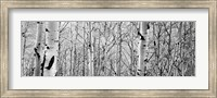 Framed Aspen trees in a forest BW