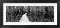Framed Boardwalk passing through a forest, Congaree National Park, South Carolina