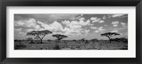 Framed Acacia trees on a landscape, Lake Ndutu, Tanzania