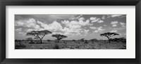 Framed Acacia trees on a landscape, Lake Ndutu, Tanzania