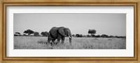 Framed Elephant Tarangire Tanzania Africa