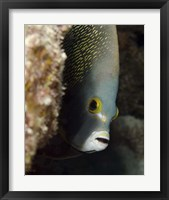 Framed French angelfish, West Palm Beach, Florida