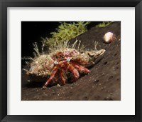 Framed Hermit Crab on sponge in Gulf of Mexico