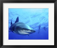 Framed Diver swimming with Oceanic Whitetip Sharks, Cat Island, Bahamas