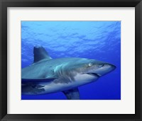Framed Close-up side view of an Oceanic Whitetip Shark