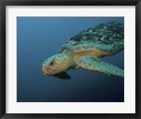 Framed Loggerhead Sea Turtle off the coast of North Carolina