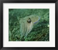 Framed Golden Cuttlefish, Lembeh Strait, Indonesia