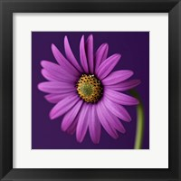 Framed Purple Beauty