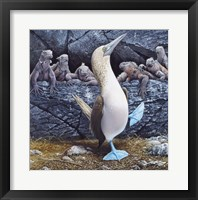 Framed Blue Footed Boobies