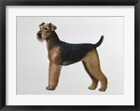 Framed Airdale Terrier