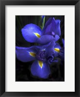 Framed Iris at Dusk