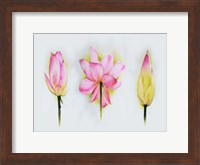 Framed Lotus Tryptic