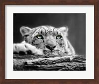 Framed Pop of Color Snow Leopard Eyes
