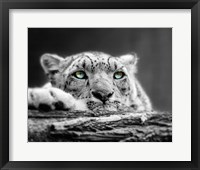 Framed Pop of Color Snow Leopard Eyes